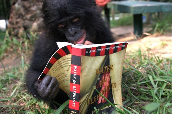 Macaco - Bonobo